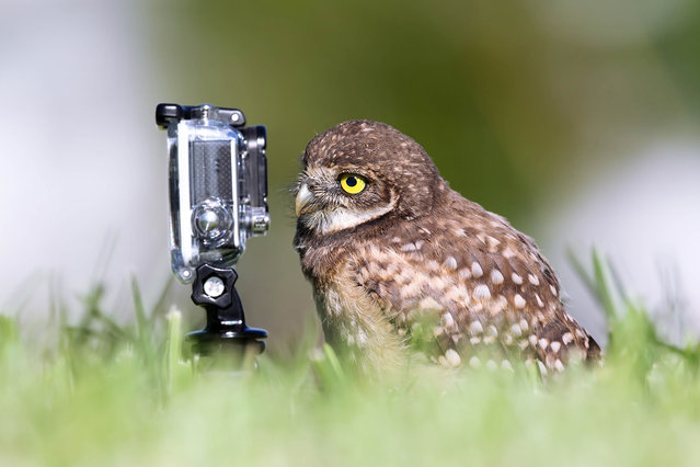 'Selfie master'. An owl eyes up a gopro camera. (Photo by Megan Lorenz/Comedy Wildlife Photography Awards/Mercury Press)