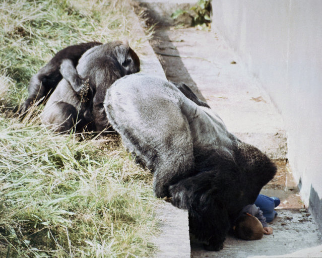 Jambo, a 250-pound gorilla at the Jersey Zoo in St. Helier, the Channel Islands, leans into the dry moat around the gorilla enclosure at the zoo to check the condition of five-year-old Levan Merritt on September 2, 1986, after the boy tumbled 20-feet into the pit. Jambo gently caressed the unconscious boy and neither he nor his mate nor their baby, right, harmed the youngster. Levan suffered head injuries and a broken arm in the fall. (Photo by AP Photo)
