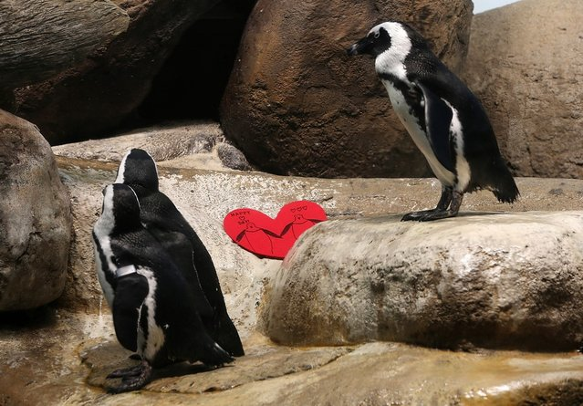 African Penguins walk by a Valentine's Day card at the California Academy of Sciences on February 13, 2013 in San Francisco, California.  In honor of Valentine's Day, the colony of African Penguins at the California Academy of Sciences received heart-shaped red valentines with hand written messages from Academy visitors.  (Photo by Justin Sullivan)