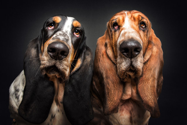Basset Hounds. (Photo by Vieler Photography/Caters News Agency)