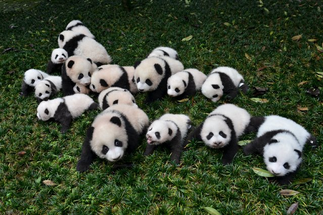 Baby pandas born in 2015 are placed on grass for pictures during a photo opportunity at a giant panda breeding centre in Ya'an, Sichuan province, China, October 24, 2015. About 18 pandas born in 2015 were shown to media at the centre last Saturday. (Photo by Reuters/Stringer)