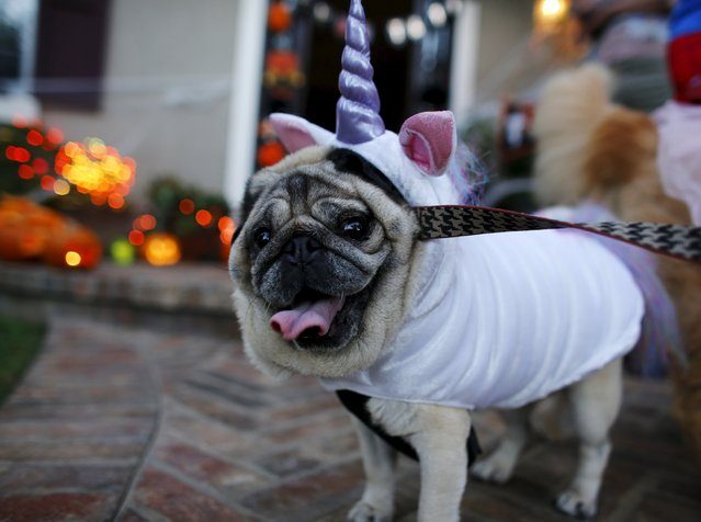 A pug dog is dressed up in costume as she trick or treats with her owners during Halloween in Encinitas, California  October 31, 2015. (Photo by Mike Blake/Reuters)