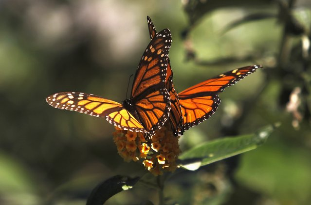Monarch butterflies cling to a plant at the Monarch Grove Sanctuary in Pacific Grove, California, December 30, 2014. (Photo by Michael Fiala/Reuters)