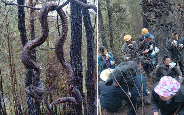 A giant python 4 feet long turned food Chinese residents after he was found dead after being struck by lightning in a forest in Bazhong, Sichuan Province in southwest China, on May 15, 2013. The snake was found hanging from a tree by residents who extinguished the fire in the forest. According to the villagers, she had been terrorizing the village for years and would be responsible for attacking animals and even a man and a child. (Photo by Europics/Newscom/EFE)