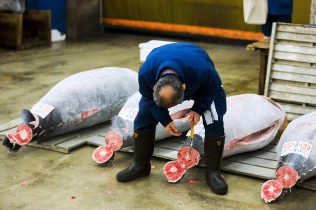 A wholesaler checks the quality of a frozen tuna displayed at the Tsukiji fish market before the New Year's auction in Tokyo January 5, 2015. (Photo by Thomas Peter/Reuters)