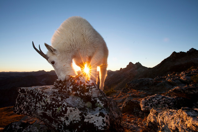 """'Moments before the sun dipped below the mountains, I captured this nanny licking minerals below the mountain peak. Positioning myself in just the right spot, I was able to create a """"sunstar"""" for an additional element of interest in the frame'. (Photo by Connor Stefanison/Fritz Pölking Prize/GDT EWPY 2015)"""