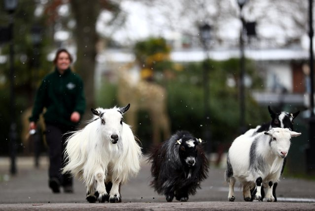 Apprentice zookeeper Hattie Sire takes the goats that are missing interaction from visitors for a walk around an empty ZSL London Zoo, as zookeepers continue to tend to thousands of animals whilst the zoo remains closed to the public, amid the coronavirus disease (COVID-19) outbreak in London, Britain, February 10, 2021. (Photo by Hannah McKay/Reuters)