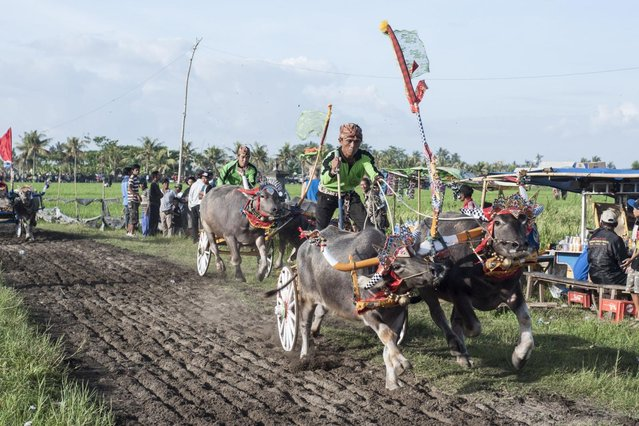 "Contestants compete during ""Mekepung"" traditional water buffalo race on July 28, 2013 in Jembrana, Bali, Indonesia. Meaning ""to chase around"", Mekepung is a race of water buffaloes driven by a jockey and was originally designed as a fun game for peasants to spend their free time between the end of harvest and the start of the planting season (Photo by Putu Sayoga/Getty Images)"