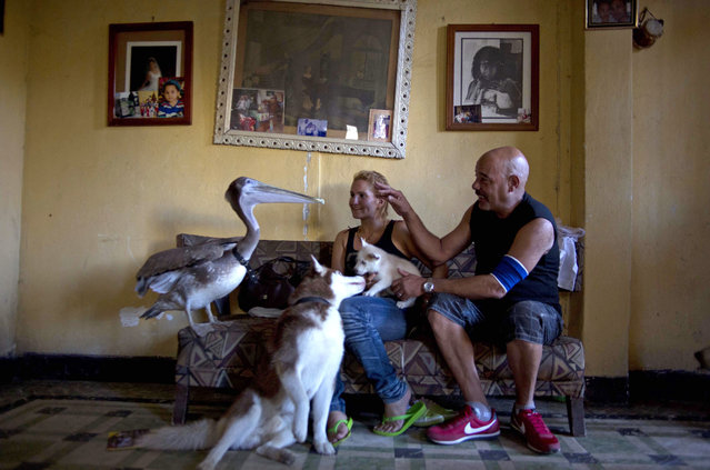 Pancho the Pelican stands with members of his adopted family, Magela Guerrero, center, her husband Freddy de Leon, puppy Rome, and dog Duke at their home in Havana, Cuba, Thursday, September 5, 2013.  Guerrero and de Leon's home is a veritable menagerie of animals that they say coexist peacefully despite including both predators and potential prey: three dogs and a cat, a hawk, another bird of prey called a kestrel, a parrot, three turtles and a goose. (Photo by Ramon Espinosa/AP Photo)