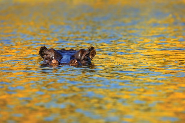 The stealthy approach of a hippo. (Photo by Alex Bernasconi)