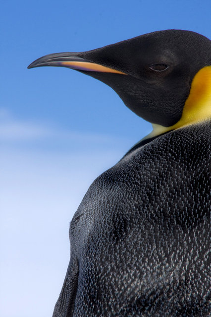 The side profile of an Emperor penguin. (Photo by Dafna Ben Nun/Caters News)