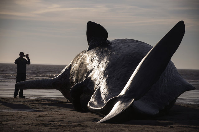 One of three Sperm Whales, which were found washed ashore near Skegness over the weekend, lays on a beach on January 25, 2016 in Skegness, England. (Photo by Dan Kitwood/Getty Images)
