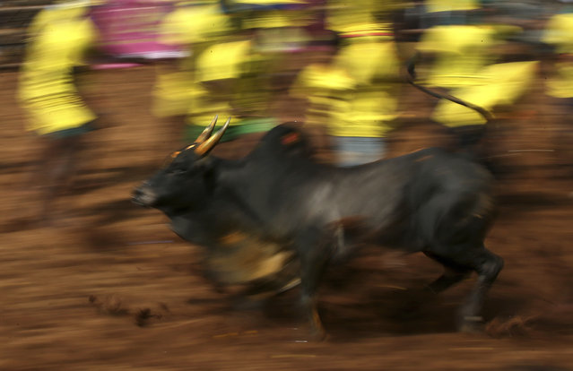 In this Wednesday, January 16, 2019, photo, a bull runs away from tamers during a traditional bull-taming festival called Jallikattu, in the village of Palamedu, near Madurai, Tamil Nadu state, India. (Photo by Aijaz Rahi/AP Photo)