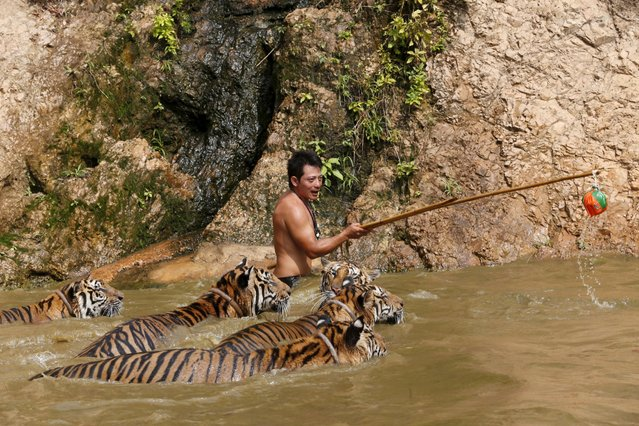 Tigers swim while being trained at the Tiger Temple in Kanchanaburi province, west of Bangkok, Thailand, February 25, 2016. (Photo by Chaiwat Subprasom/Reuters)