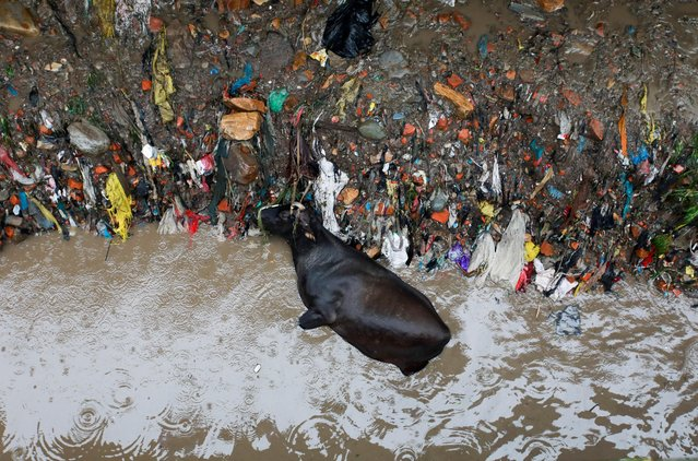 A dead cow lies on the bank of swollen Bishnumati River after the heavy rainfall in Kathmandu, Nepal, September 6, 2021. (Photo by Navesh Chitrakar/Reuters)