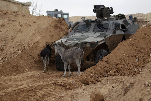 Donkeys walk past a rebel military vehicle on the outskirts of the northern Syrian town of al-Bab, Syria January 26, 2017. (Photo by Khalil Ashawi/Reuters)
