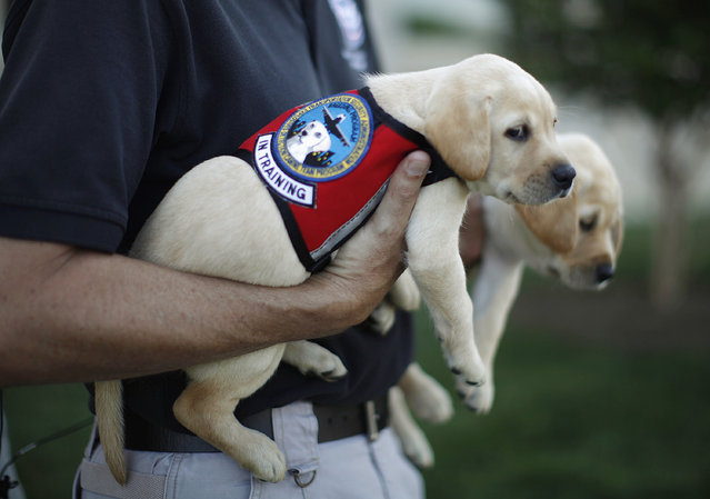 "Labrador puppies ""Hoey"" (L) and ""Hatton"", named in honor of September 11, 2001 attack victims Patrick Hoey and Lenny Hatton who died in the World Trade Center, are pictured on the grounds of the Pentagon near Washington, June 28, 2011. (Photo by Jason Reed/Reuters)"