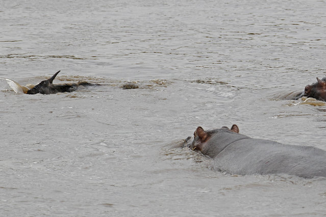 The gnu is getting weaker by the second but the hippos are closing in. (Photo by Vadim Onishchenko/Caters News)