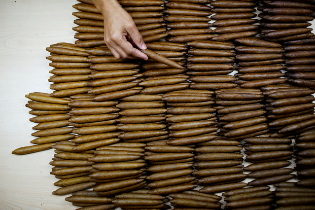 A worker checks cigars at the quality control room at the H. Upmann Tobacco factory in Havana, Cuba, March 2, 2017. (Photo by Alexandre Meneghini/Reuters)
