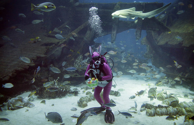 A diver dressed as the Easter Bunny swims among sharks, rays and other species of fish in the Shipwreck habitat, Thursday, April 17, 2014 at the South East Asia Aquarium of Resorts World Sentosa, a popular tourist attraction in Singapore. The performance is part of the Easter celebrations.(Photo by Wong Maye-E/AP Photo)