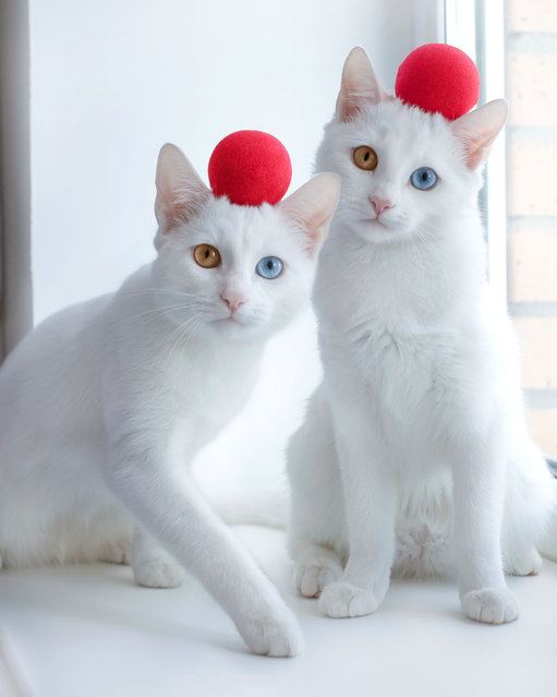 "These adorable cats – which are twins – showcase their contrasting blue and green eyes. The fascinating pair, Iriss and Abyss, live with their owner Pavel Dyagilev, 34, in St. Petersburg, Russia. The cats have a condition called heterochromia iridis, which causes each eye to vary in color. Dyagilev said: ""When I found an ad on social media that two kittens were seeking a new home, I never imagined that I'd end up with two. But I looked through the pictures of kittens and saw two twins always together on the photos. And my heart melted"". (Photo by @sis.twins/Caters News Agency)"