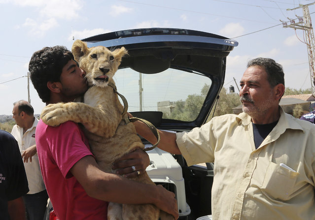 Ibrahim Al-Jamal, 17, hugs Mona, the female lion cub, as his father Saduldin, 54, strokes her as they wait to evacuate from Gaza to the Erez border crossing between Israel and the Gaza Strip, in Beit Hanoun, in the northern Gaza Strip, Friday, July 3, 2015. (Photo by Adel Hana/AP Photo)