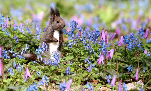 A Hokkaido squirrel checks out its surroundings in a patch of wild flowers in full bloom on the grounds of Urausu Jinja Shrine on May 1, 2016 in Urausu, Hokkaido, Japan. The blossoming of blue Corydalis ambigua flowers and the pink flowers of Erythronium japonicum, a kind of trout lily, signal the arrival of spring on Japan's northernmost main island. (Photo by The Asahi Shimbun via Getty Images)