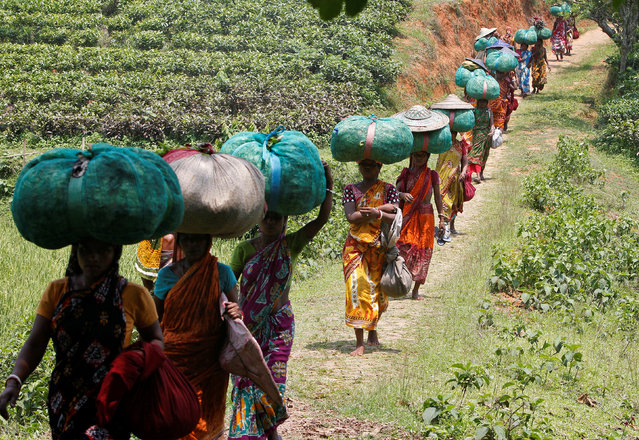 Tea garden workers carry sacks filled with tea leaves at Durgabari Tea Estate on the outskirts of Agartala, India May 4, 2017. (Photo by Jayanta Dey/Reuters)