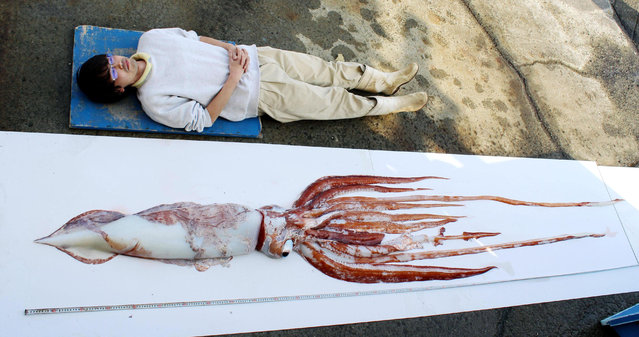 A rare giant squid, caught March 12 near Yokosuka, Kanagawa Prefecture, Japan, is displayed next to a man to show how long it is. (Photo by Keikyu Aburatsubo Marine Park/KYODO)