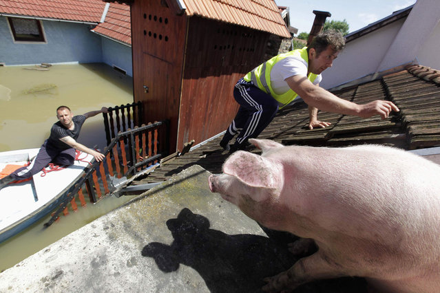 A man climbs on the roof of a house to feed pigs they rescued during heavy floods in the village of Vojskova, on May 19, 2014. (Photo by Srdjan Zivulovic/Reuters)