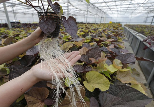 "An employee holds a plant with roots at the Plant Advanced Technologies (PAT) company greenhouse in Laronxe near Nancy, Eastern France, June 19, 2015. The farmers employed at the site in Laronxe are growing plants in a special way with a view to ""milking"" them for use in medicines, cosmetics and agrochemicals. (Photo by Vincent Kessler/Reuters)"