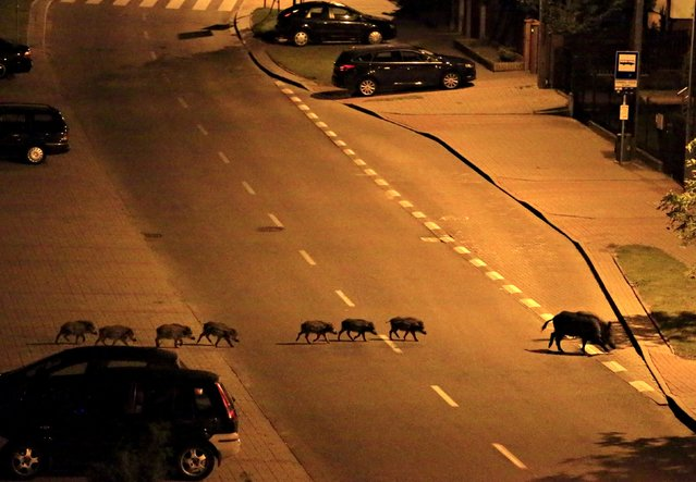 A female boar and her piglets cross a street during the night in Gdynia, Poland early July 25, 2015. (Photo by Radu Sigheti/Reuters)