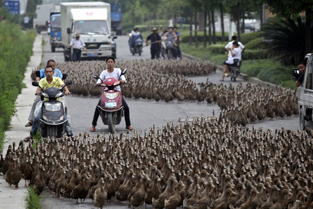 Farmers herd a flock of ducks along a street towards a pond as residents drive next to them in Taizhou, Zhejiang province, June 17, 2012. (Photo by Reuters/China Daily)