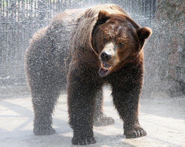 Buyan, a male Siberian brown bear, cools down under a stream of water sprayed by an employee in its enclosure on a hot summer day, with the air temperature at about 33 degrees Celsius (91.4 degrees Fahrenheit) at the Royev Ruchey zoo on the suburbs of Krasnoyarsk, Siberia, Russia, June 14, 2016. (Photo by Ilya Naymushin/Reuters)