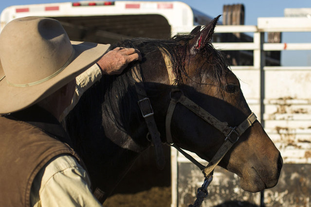 Cowboy David Thompson inspects a cut on a horse's ear after it fell inside a trailer on the way to gather cattle near Ignacio, Colorado June 12, 2014. The land where the cattle graze is leased from the Forest Service by third-generation rancher Steve Pargin. Several times a year, he and a crew led by his head cowboy, David Thompson, spend a week or more herding cattle from mountain range to mountain range to prevent them from causing damage to fragile ecosystems by staying in a single area too long. (Photo by Lucas Jackson/Reuters)