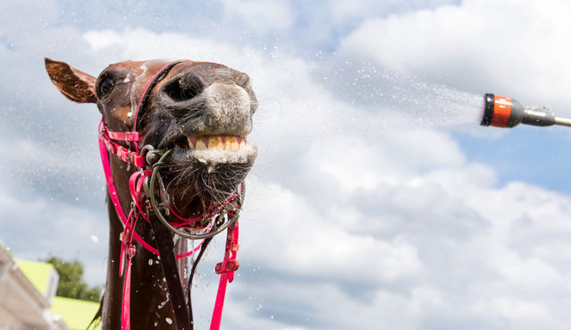A horse is cooled off by hosing it down at the Derby Week 2016 at the Horner Rennbahn racecourse in Hamburg, Germany, 09 July 2016. (Photo by Daniel Bockwoldt/AFP Photo/DPA)