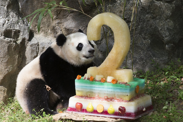 Giant panda cub Bao Bao is given a cake to enjoy on her second birthday, at Smithsonian's National Zoological Park, in Washington, DC, August 23, 2015. Bao Bao's second birthday comes a day after her mother, 17-year-old Mei Xiang, gave birth to twins, 22 August. This is only the third time a giant panda living in the United States has given birth to twins. (Photo by Michael Reynolds/EPA)