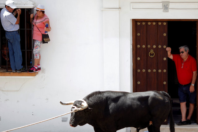 "A man watches a bull, named Santon, from his home during the ""Toro de Cuerda"" (Bull on Rope) festival at Plaza de Espana square in Grazalema, southern Spain, July 18, 2016. (Photo by Jon Nazca/Reuters)"