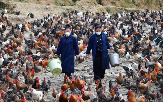 Wu Chunying (R) and sister Wu Dongxian feed chickens in Xiangfen Village in Xiangfen Town in Rongshui Miao Autonomous County, south China's Guangxi Zhuang Autonomous Region on March 23, 2020. Since 2013, they founded a cooperative and led over 90 poor farmers to raise chickens. Up to now, more than 1,300 women have returned to Rongshui to start their own businesses including running farms, homestays, restaurants, agricultural cooperatives, etc. (Photo by Huang Xiaobang/Avalon.red)