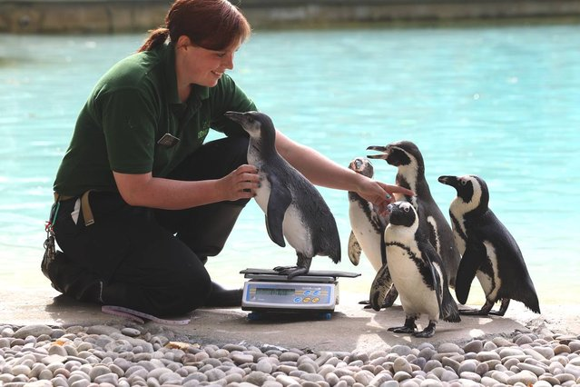 Zookeeper Vicky Fyson, at ZSL London Zoo, weighs and measures penguins during the zoo's annual weigh-in on August 22, 2012 in London, England