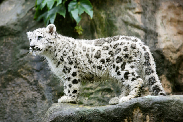 """A young snow leopardin its enclosure at the Zoo in Cologne, Germany, 13 September 2012. Two young snow leopards """"Nuri"""" and """"Samira"""" were born on 29 May 2012 and now weigh seven and eight kg.(Photo by Rolf Vennenbernd/EPA)"""
