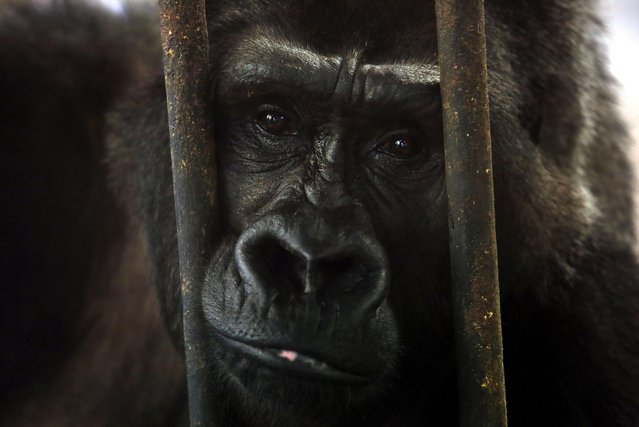 Bua Noi (Little Lotus), 28, a gorilla, leans on the bars of her cage on World Animal Day, on the top floor of a old shopping center, at Pata Zoo in Bangkok, Thailand, 04 October 2014. Bua Noi has been housed at the zoo since she was bought from a zoo in Germany to Thailand in 1988, living on concrete behind  bars and a glass wall, without any green living vegetation inside. (Photo by Barbara Walton/EPA)