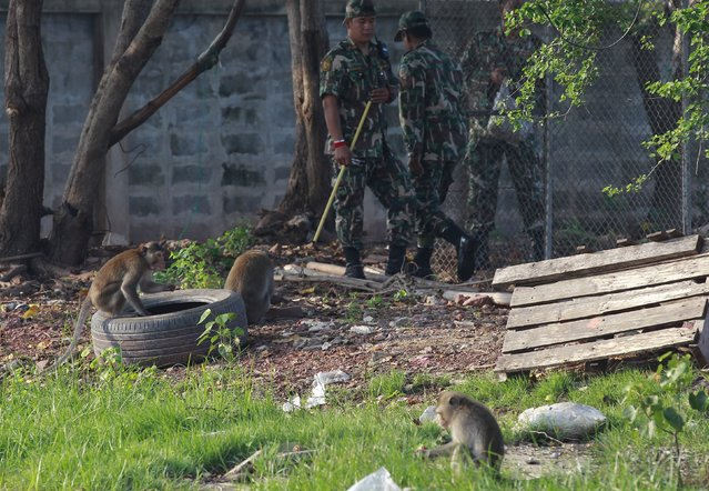 Thai wildlife department officials herd long-tailed macaques to a cage at a village in Bangkok, Thailand, September 21, 2015. (Photo by Chaiwat Subprasom/Reuters)