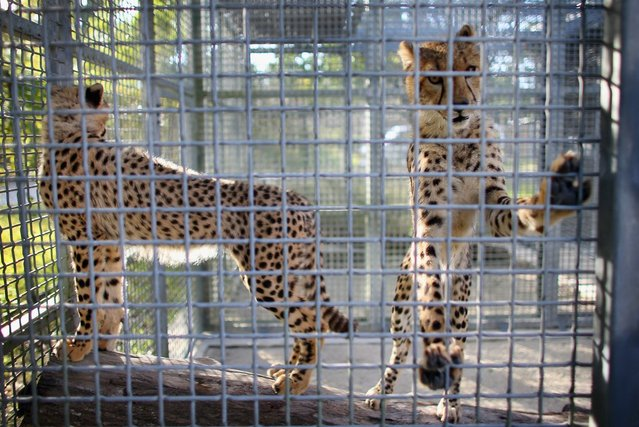 Two 9-month old Cheetahs stand in a cage after they were released into a quarantine facility at Zoo Miami on November 29, 2012 in Miami, Florida.  The two sub-adult brothers who arrived today were captive-born on March 6th of this year at the Ann van Dyk Cheetah Centre just outside of Pretoria, South Africa. The Cheetahs, after being monitored and examined for a minimum of 30 days to insure that they are healthy and stable, will be featured in Zoo Miami's Wildlife Show at the newly constructed amphitheater and will continue the work of Zoo Miami's Cheetah Ambassador Program by making appearances off zoo grounds at a variety of venues including schools and civic organizations.  (Photo by Joe Raedle)