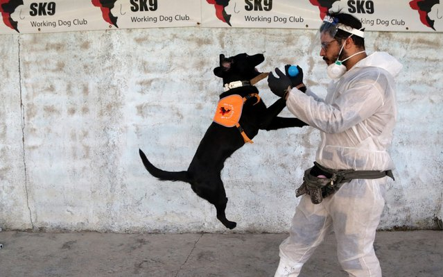 A dog being trained to detect the novel coronavirus (COVID-19) in people as part of the 23-day program carried out by 6 instructors and nearly 20 staff in coordination with the Iranian Health Minister and the army at SK-9 Dog Training Center in 50 kilometers west of Tehran in Shahriyar district, Iran on May 29, 2020. Dogs trained at the center allegedly achieved 65.5 per cent success in detecting of Covid-19. (Photo by Fatemeh Bahrami/Anadolu Agency via Getty Images)