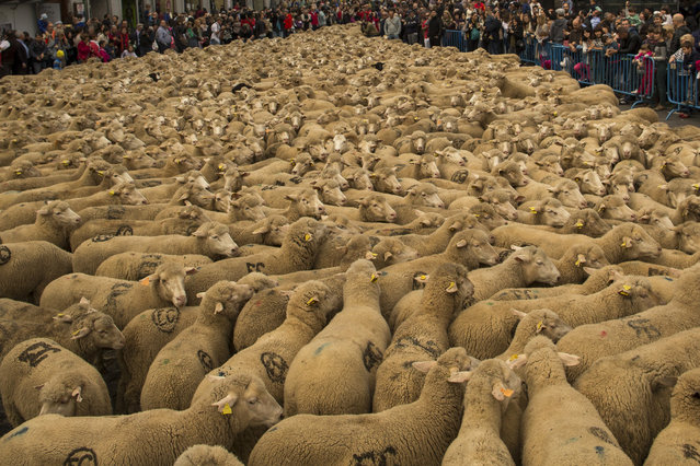 In this file photo dated Sunday, November 2, 2014, shepherds lead their sheep through the centre of Madrid, Spain. Shepherds have guided a flock of 2,000 sheep through Madrid streets in defense of ancient grazing, droving and migration rights increasingly threatened by urban sprawl and modern agricultural practices. Tourists and city-dwellers were surprised to see the capital's traffic cut to permit the ovine parade to bleat bells clanking its way past the city's most emblematic locations. (Photo by Andres Kudacki/AP Photo)
