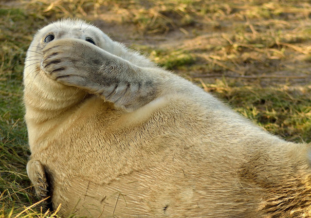 'That wasn't me...'  An embarrased looking seal. (Photo by Jason Riley/Comedy Wildlife Photography Awards/Mercury Press)