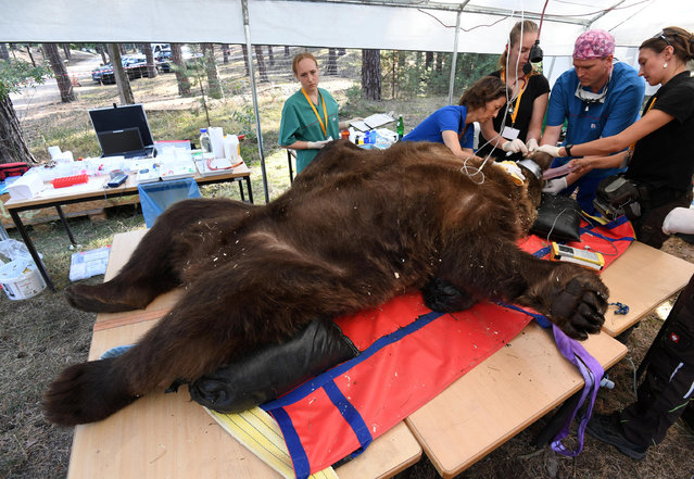 The teeth of narcotized brown bear Igor are examined by specialists in a field hospital at wild park Johannismuhle near Baruth, Germany, 16 September 2016. (Photo by Ralf Hirschberger/DPA/Alamy Live News)