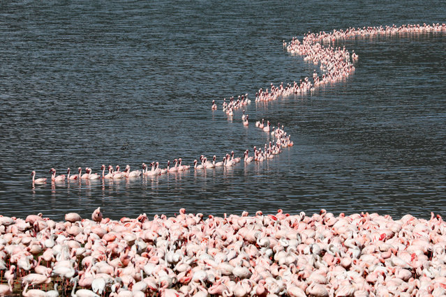A flamboyance of flamingos crowds together in Lake Bogoria, in Baringo County, Kenya, August 26, 2020. (Photo by Baz Ratner/Reuters)