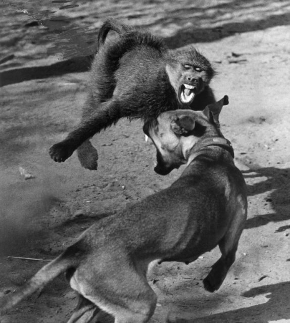 """Fangs flash in the sun and the dust flies as Jackie, a monkey, and lady, a dog, face each other in fierce combat in Natal, South Africa, September 23, 1963 but the anger is mock and blood is never drawn. Owned by animal trainer Jamie Van Heerden, Jackie and Lay are just a pair of hams and great friends besides. Mr. Van Heerden has supplied the animals used in the films """"Zulu"""" and """"Rhino"""" which were shot in Natal. (Photo by AP Photo)"""